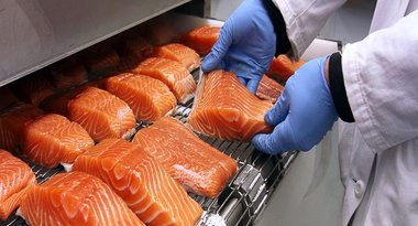 Fresh salmon filets loaded onto conveyor belt for freezing